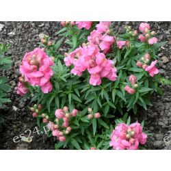 Lwia Paszcza rabatowa, mix kolorów, duże rośliny