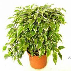 Ficus Benjamina 80 cm