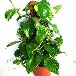 Epipremnum- Scindapsus wysoki 100 cm