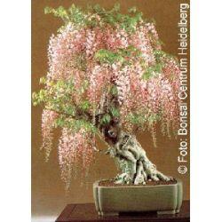 Tropica - Bonsai - Blauregen (Wisteria sinensis) - 4 Samen