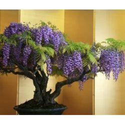 "Seedeo Blauregen Wisteria sinensis ""blue"" Bonsai"