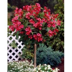 Weigelia Bristol Ruby® als Kugel-Stämmchen gezogen rot blühend, 1 Pflanze
