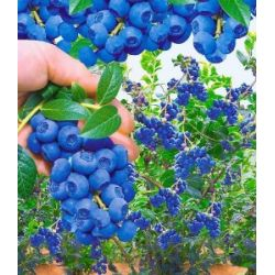 Trauben-Heidelbeeren 'Reka® Blue', 1 Pflanze nur Euro 7,95 statt Euro 9,95, Vaccinium corymbosum