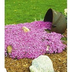 Teppichphlox 'Emerald Pink',winterharter Bodendecker 3 Pflanzen nur Euro 5,95 statt Euro 6,95