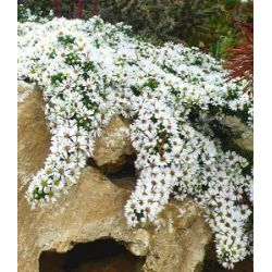Winterharter Bodendecker Steinaster 'Snowflurry', 1 Pflanze Aster ericoides