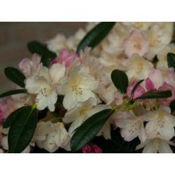 Rhododendron, 2 Liter weiß/cremeweiß, 1 Pflanze