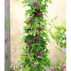 Winterharte Passionsblumen 'Ladybirds Dream', 1 Pflanze, Passiflora
