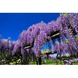 Blauregen - Wisteria sinensis - Wisteria - Glyzinien - Pflanze