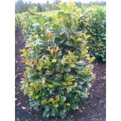 immergrüner Kirschlorbeer Prunus laurocerasus Etna -R- 80 - 100 cm hoch und 80 cm breit im 10 Liter Pflanzcontainer Solitär