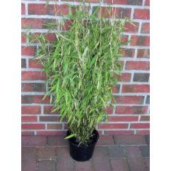 Horstbildender Bambus, keine unterirdischen Ausläufer, 80-90 cm ab Pflanzcontainer