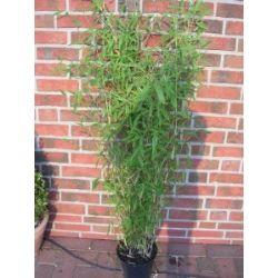"Bambus, 110-120 cm ab Pflanzcontainer, Fargesia murielae ""Jumbo"", winterharter Gartenbambus !"