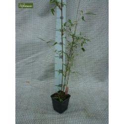 Bambus, Fargesia jiuzhaigou 1, Gesamthöhe: 35-45cm, Topf: 0.5 ltr., 1-3 triebe