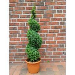 Buchsbaum Spirale, Höhe: 110 cm, Bonsai, Buxus Formschnitt !