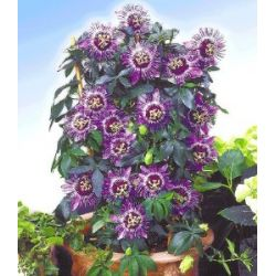 "Passionsblume ""Perfume Passion"",1 Pflanze Passiflora caerulea"