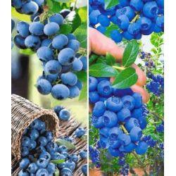 Heidelbeer-Sortiment Trauben-Heidelbeere Reka® und Heidelbeere Hortblue® zum Vorteilspreis, 2 Pflanzen