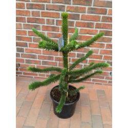 Araucaria araucana, Höhe: 100-110 cm, Affenbaum, Affenschaukel, Andentanne, winterharte Pflanze !