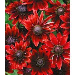 Sonnenhut Rudbeckia 'Cherry Brandy', 3 Pflanzen nur Euro 7,60 statt Euro 8,49