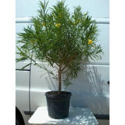 Thevetia peruviana im 24 cm Topf - Tropischer oleander