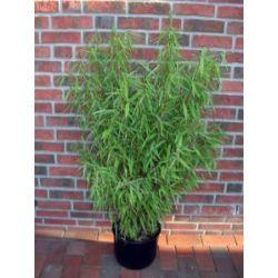 Bambus, Höhe: 150cm, Fargesia Jumbo, winterharte Pflanze für den Garten !