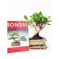 Bonsai Anfänger Sparset Ficus Retusa, 4 teilig