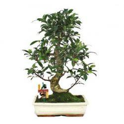 Chinesischer Feigenbaum - Ficus retusa - ca. 12-15 Jahre