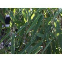 Garten Bambus 'Silver Bird' ® - Fargesia murialiae 'Silver Bird' ®