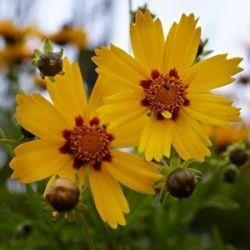 Mädchenauge, Coreopsis grandiflora 'Schnittgold'