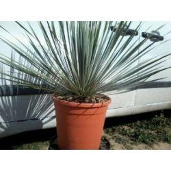 Yucca rostrata bis minus 15 Grad im 26 cm Topf