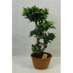 "Ficus microcarpa ""Ginseng"" BONSAI 80 cm Zimmerpflanze"