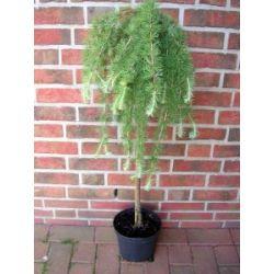 Lärchen-Stamm, Höhe: 120 cm, grüne-bläuliche Nadeln, Larix Pulli