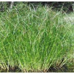 Wasserflora Langes Zyperngras / Cyperus longus im 9x9 cm Topf