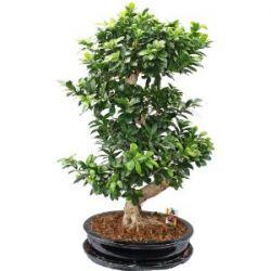 Thai-Ficus - Ficus microcarpa - ca. 12-15 Jahre - in Keramikschale