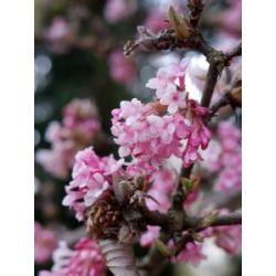 Duft-Winterschneeball rosa blühend, 2 Sträucher