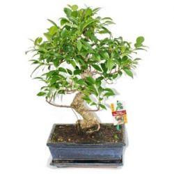 Chinesischer Feigenbaum - Ficus retusa - ca. 10 Jahre