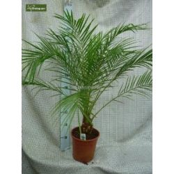 Phoenix roebelinii, Palme, Zwergdattelpalme, Gesamthöhe: 90+cm, Topf: p21