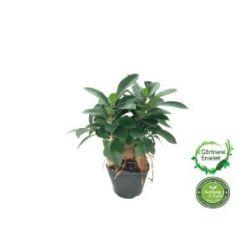 Ficus Ginseng, Bonsai, Bonsaibaum, Gummibaum