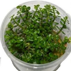 1 Dose Ammania sp. Bonsai in vitro, Wasserpflanzen steril angezogen