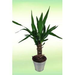 Yucca Palme - Yucca Palmlilie - Inklusive Zink-Übertopf