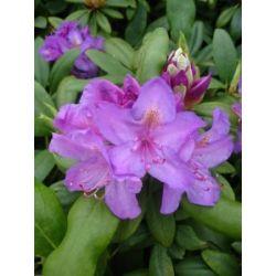 Alpenrose Rhododendron catawbiense Grandiflorum 30 cm hoch im 2 Liter Pflanzcontainer