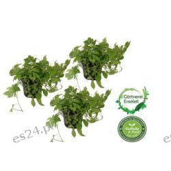 Kräuter-Set Jiaogulan,3 Töpfe Unsterblichkeitskraut,aus nachhaltigem Anbau