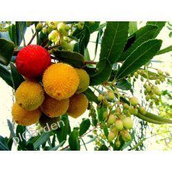 Drzewo truskawkowe 'Arbutus unedo'