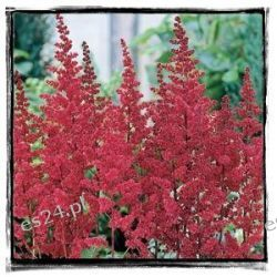 ASTILBE arendsii 'Burgundy Red'