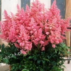 ASTILBE arendsii 'Country and Western'