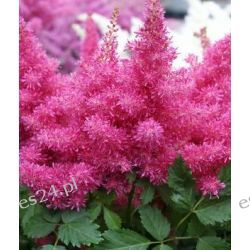 ASTILBE arendsii 'Drum and Bass'