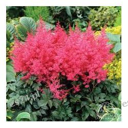 ASTILBE arendsii 'Jump and Jive'
