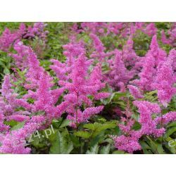 ASTILBE arendsii 'Rhythm and Blues'