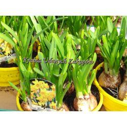 Kwiaty doniczkowe żonkil cebulowy wieloletni