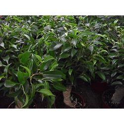 Ficus Natasza w oplocie