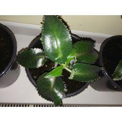 ŻYWORÓDKA PIERZASTA  roślina liść ma od 10 -16 cm