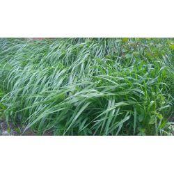 ŚWIEŻA trawa żóbrówka 50 g WÓDECZKA ZDROWO zaprawk
